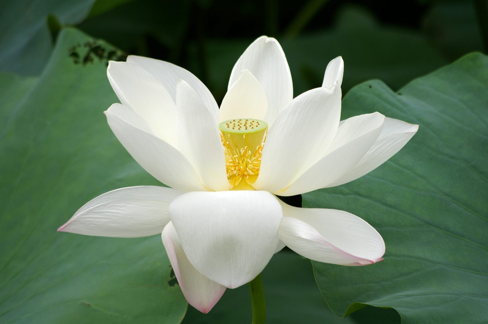 The Lotus Cannot Be Condescending