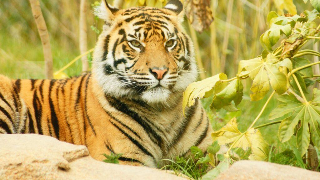 tiger-1690868_1920